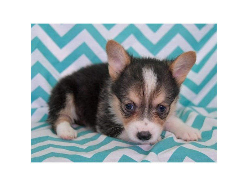 Pembroke Welsh Corgi-Female-Black / White-2608435-The Barking Boutique