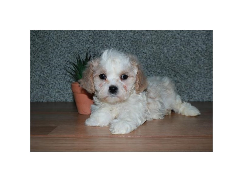 Cavachon-Male-Cream / White-2608439-The Barking Boutique