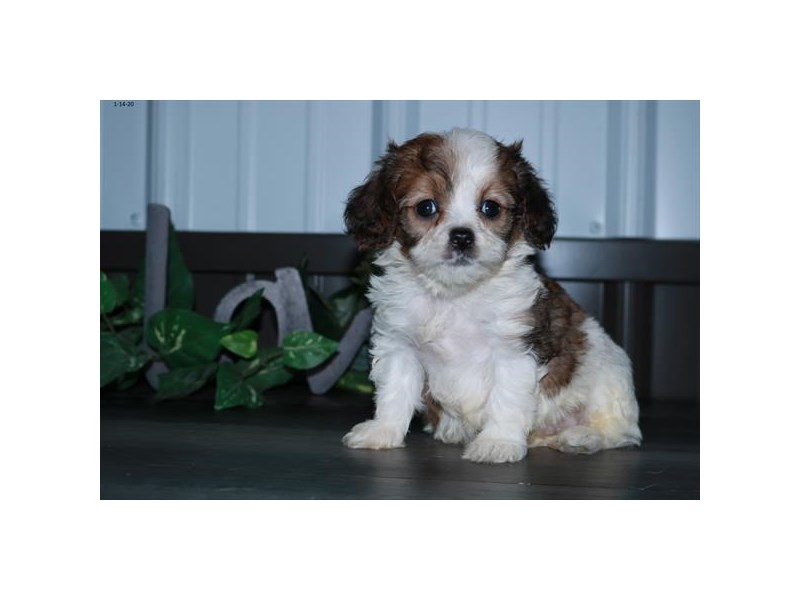 Cavapoo-Male-Sable / White-2608441-The Barking Boutique