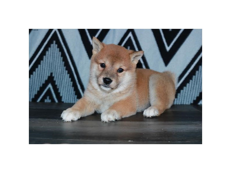 Shiba Inu-Female-Red-2608444-The Barking Boutique