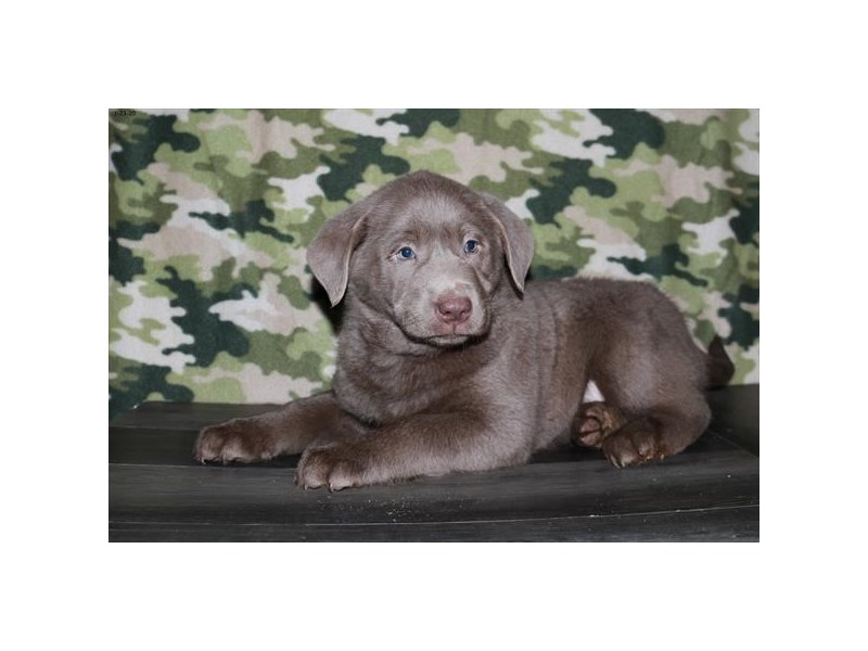 Labrador Retriever-Male-Silver-2608518-The Barking Boutique