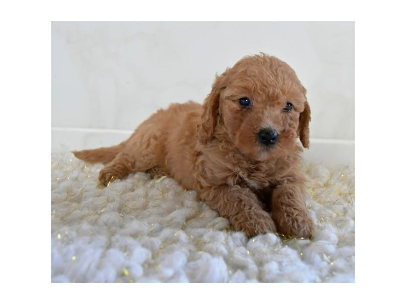 F1B Mini Goldendoodle-Female-Red-2608519-The Barking Boutique