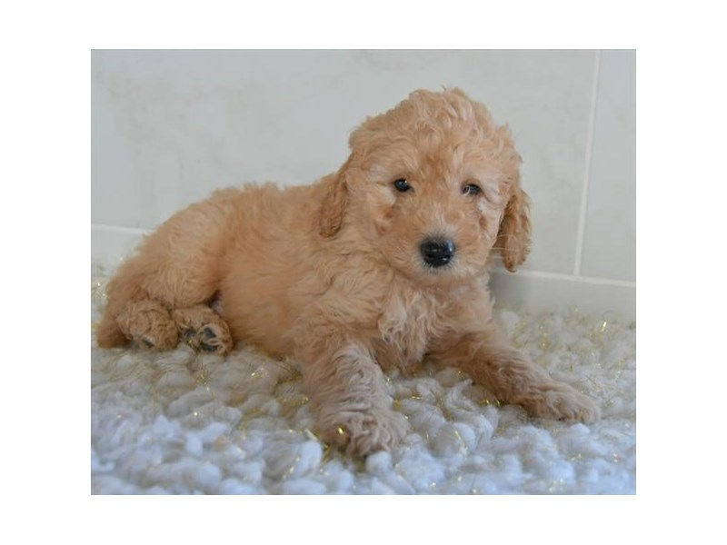 F1B Mini Goldendoodle-Male-Apricot-2608520-The Barking Boutique