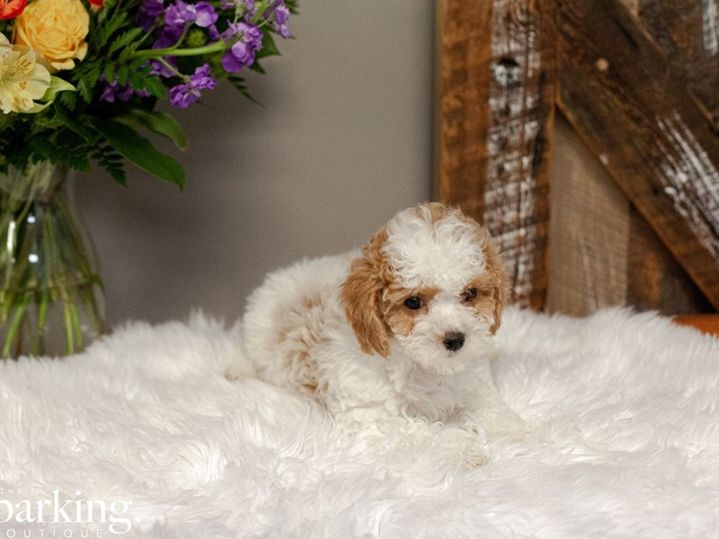 Cavapoo-Female-Red & White Bleuheim-2607130-The Barking Boutique