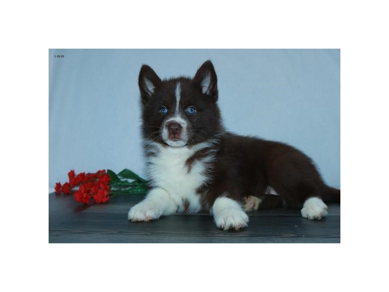 Pomsky-Female-Chocolate / White-2615779-The Barking Boutique