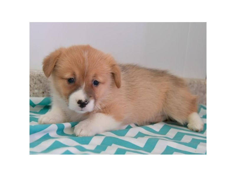 Pembroke Welsh Corgi-Female-Red / White-2615789-The Barking Boutique