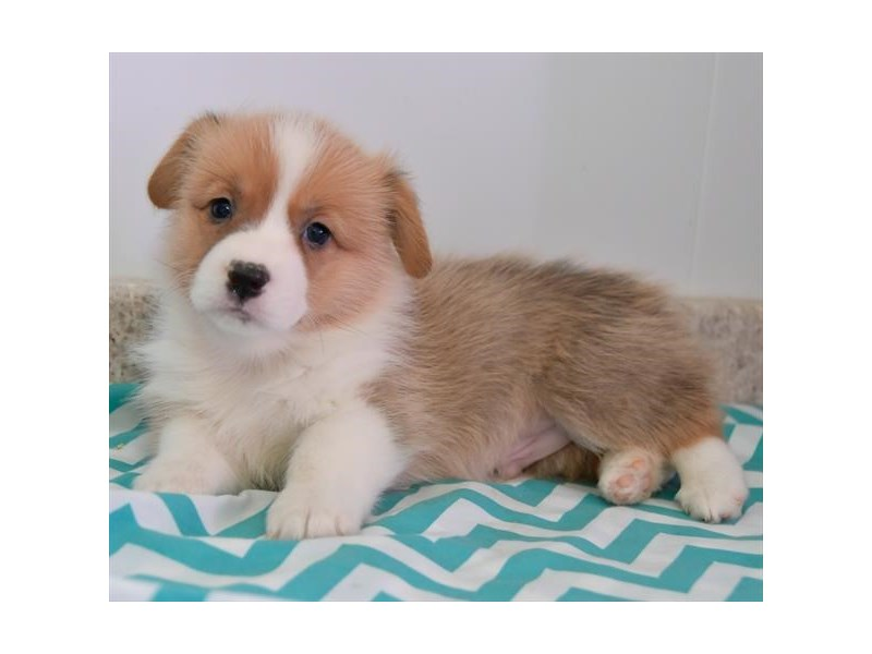 Pembroke Welsh Corgi-Male-Red / White-2615791-The Barking Boutique