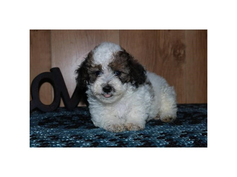 Poodle-Female-Sable / White-2615792-The Barking Boutique