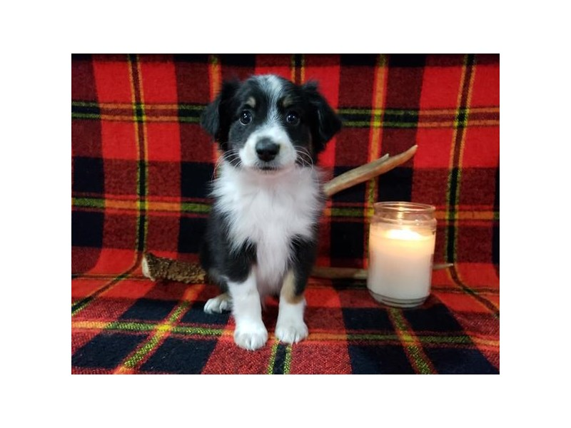 Miniature Australian Shepherd-Male-Black / White-2615901-The Barking Boutique
