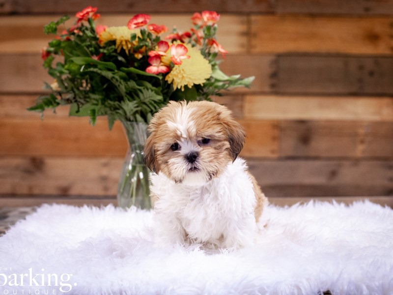 Shih Tzu – Loverboy