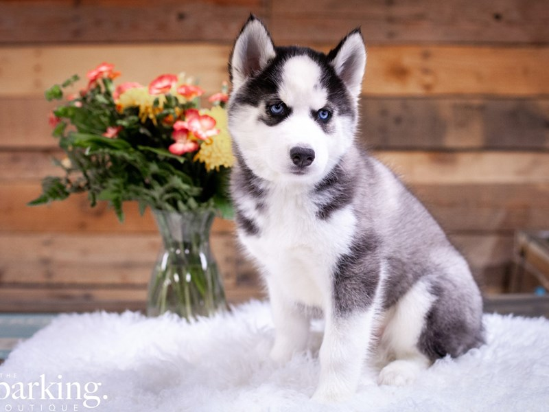 Siberian Husky-Male-Black / White-2615778-The Barking Boutique