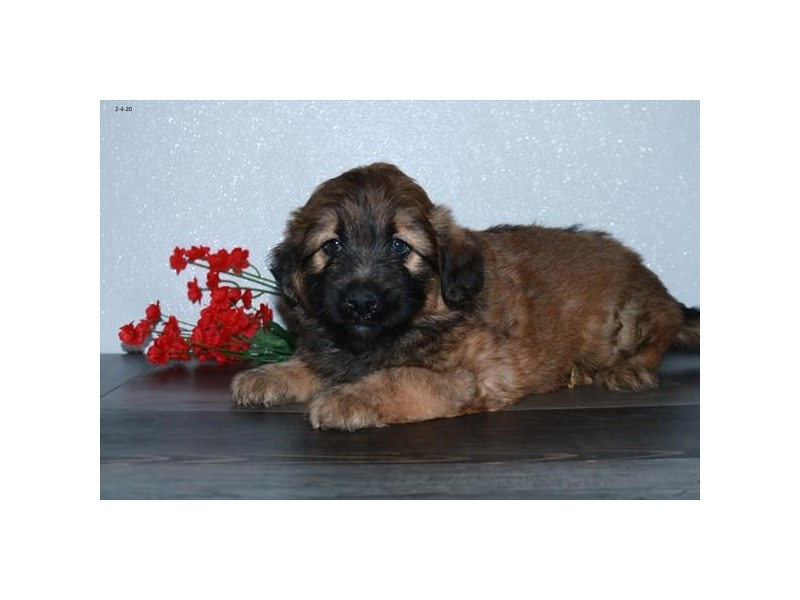 Soft Coated Wheaten Terrier-Female-Wheaten-2622847-The Barking Boutique