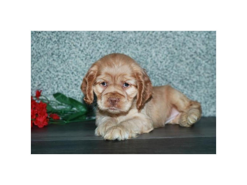 Cock A Poo-Female-Red Sable-2622849-The Barking Boutique