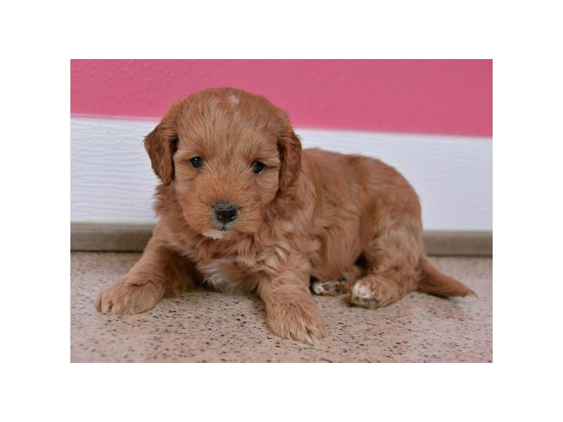 F1B Mini Goldendoodle-Male-Red-2622853-The Barking Boutique
