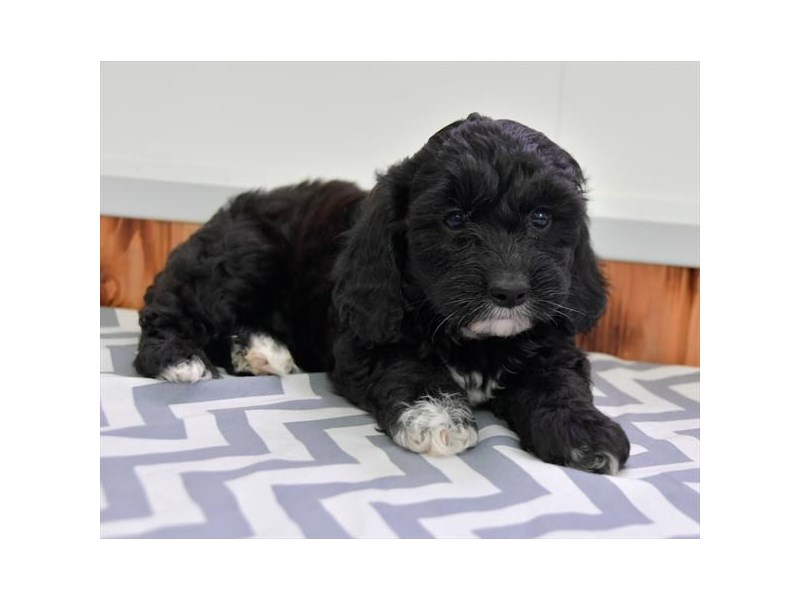 F1b Cavapoo-Female-Black / White-2622914-The Barking Boutique