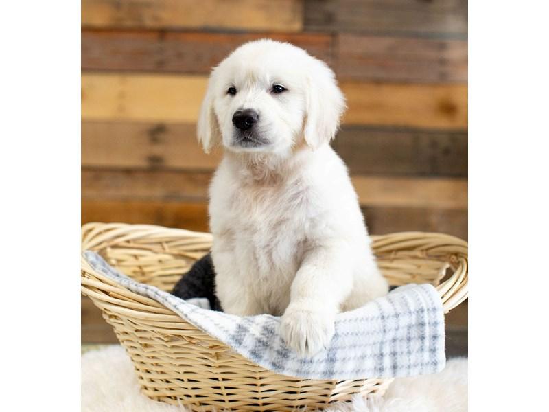 English Cream Golden Retriever-Male-Cream-2629477-The Barking Boutique