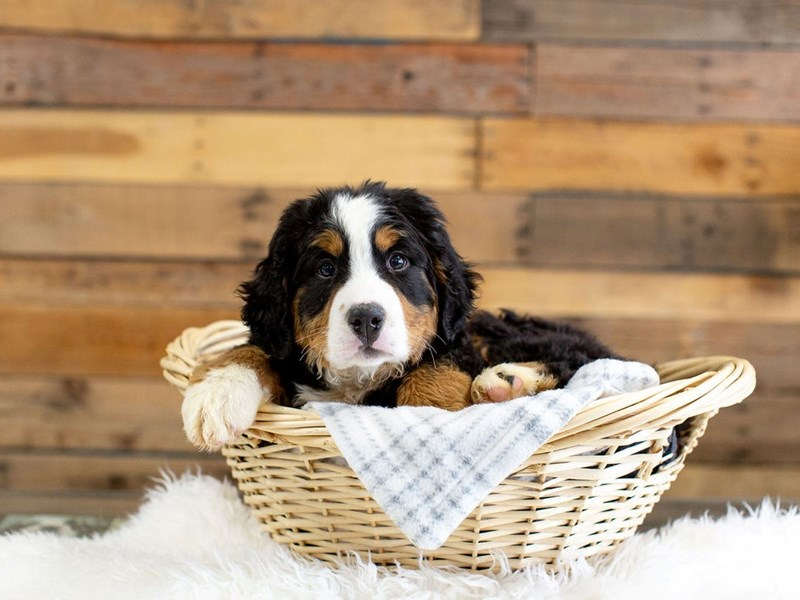 Bernese Mountain Dog-Male-Black Tricolor-2622541-The Barking Boutique