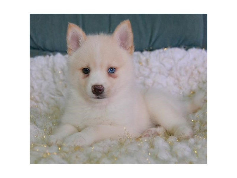 Pomsky-Male-Cream-2608436-The Barking Boutique