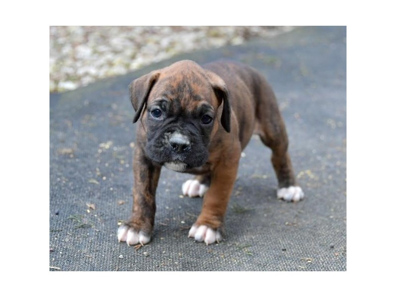 Boxer-Female-Brindle-2615893-The Barking Boutique