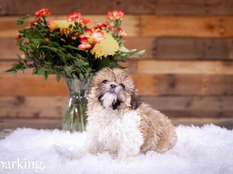 Shih Tzu – Snookums