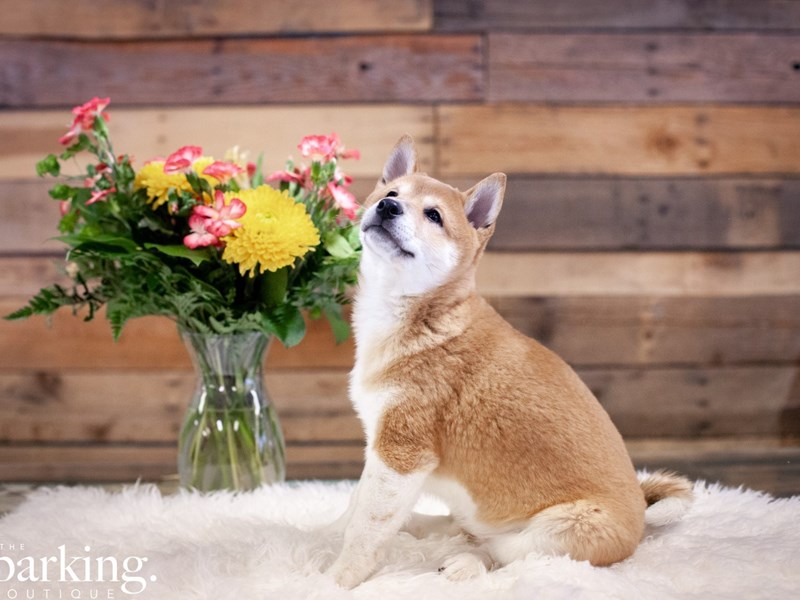 Shiba Inu-Female-Red-2615781-The Barking Boutique