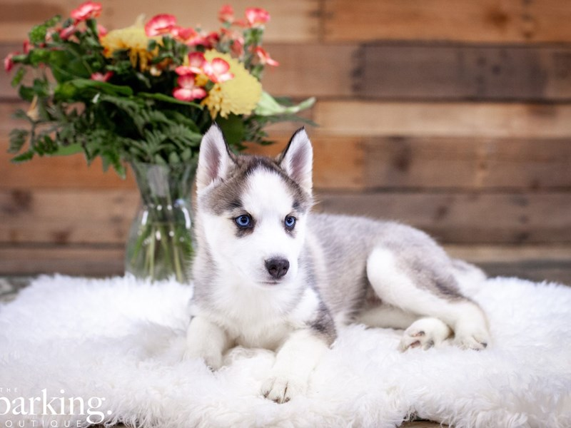 Siberian Husky-Female-Gray / White-2615777-The Barking Boutique