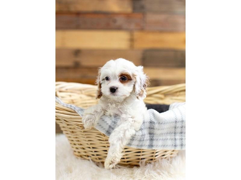 Cavapoo-Male-Bleheim-2629444-The Barking Boutique