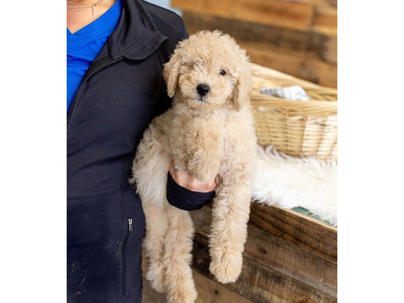 F1B Mini Goldendoodle-Male-Light Gold-2622605-The Barking Boutique