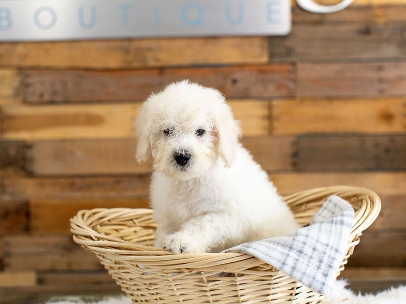 F1B Mini Goldendoodle-Male-White and Cream-2622603-The Barking Boutique