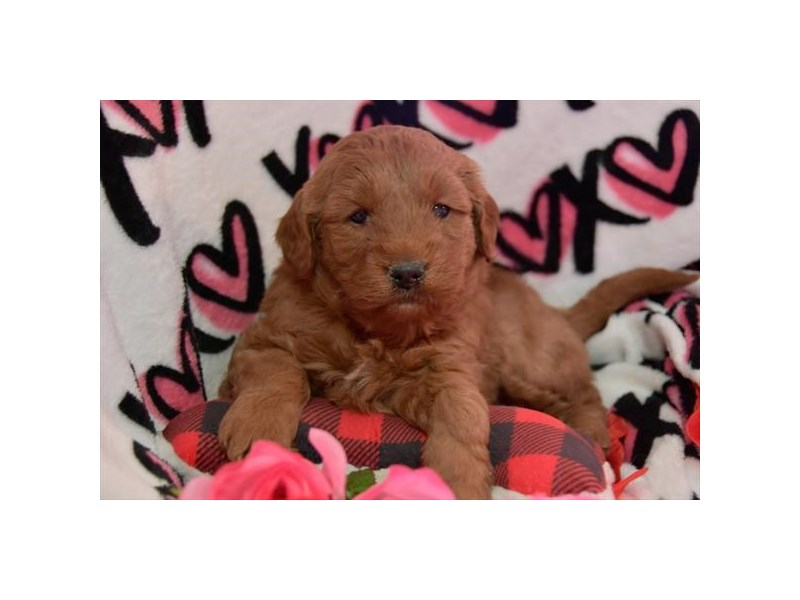 Goldendoodle Mini-Female-Red-2637178-The Barking Boutique