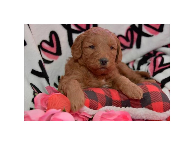 Goldendoodle Mini-Male-Red-2637179-The Barking Boutique