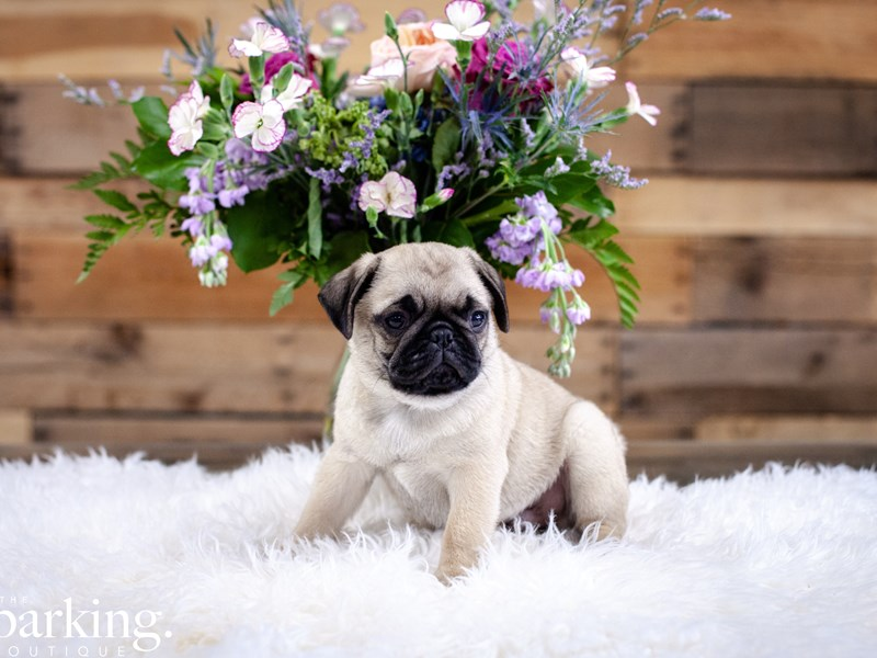 Pug-Male-Fawn-2637181-The Barking Boutique