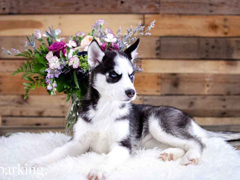 Siberian Husky-Female-Black / White-2637180-The Barking Boutique