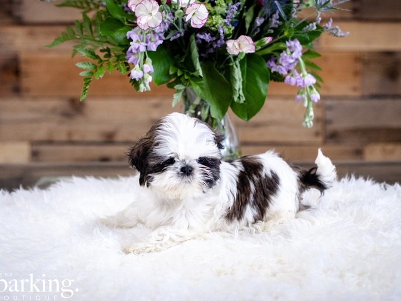 Shih Tzu-Male-Parti-2636876-The Barking Boutique