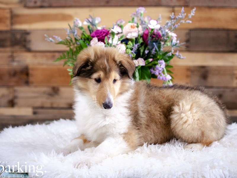 Collie-Male-Sable, White, Black-2636868-The Barking Boutique