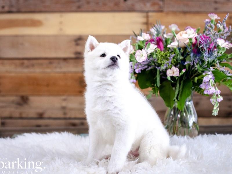 Shibamo-Male-White-2636762-The Barking Boutique