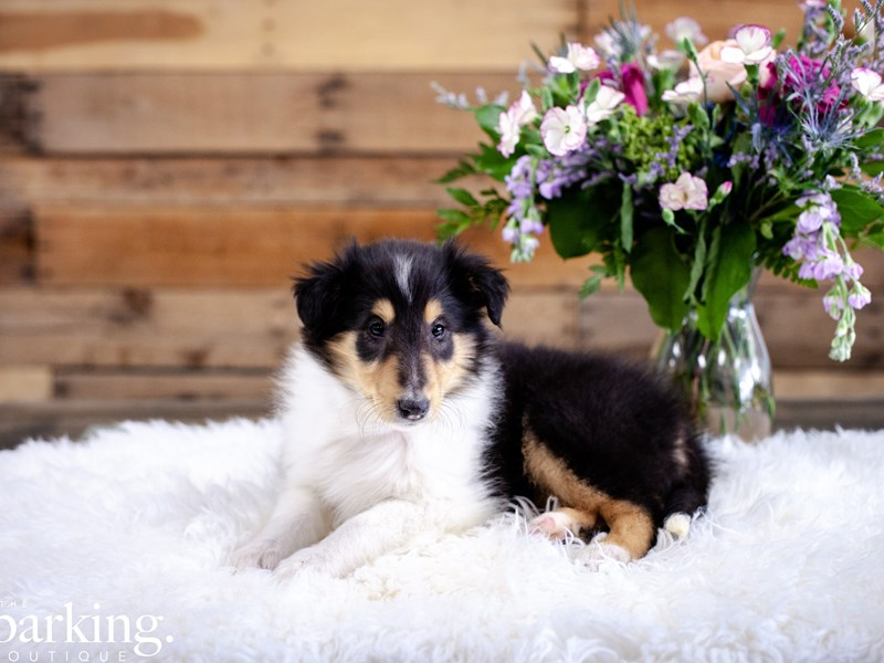 Collie-Female-Tri-Color-2636827-The Barking Boutique