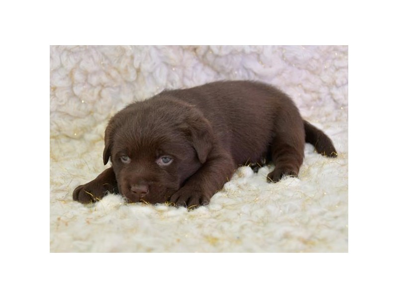 Labrador Retriever-Male-Chocolate-2645042-The Barking Boutique
