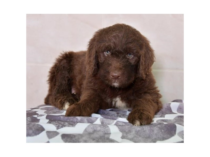 Newfypoo-Male-Chocolate-2645043-The Barking Boutique