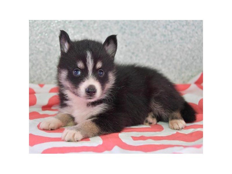 Pomsky-Female-Black-2645044-The Barking Boutique