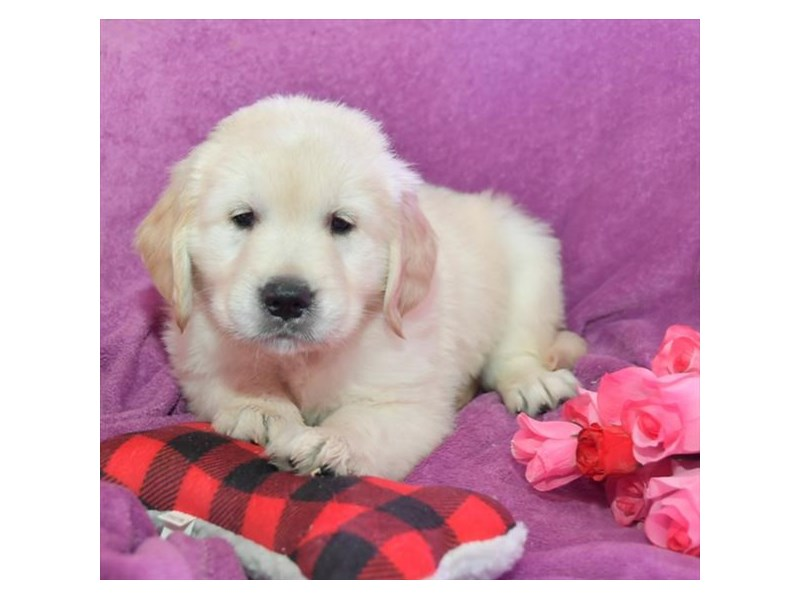 Golden Retriever-Male-Cream-2645046-The Barking Boutique