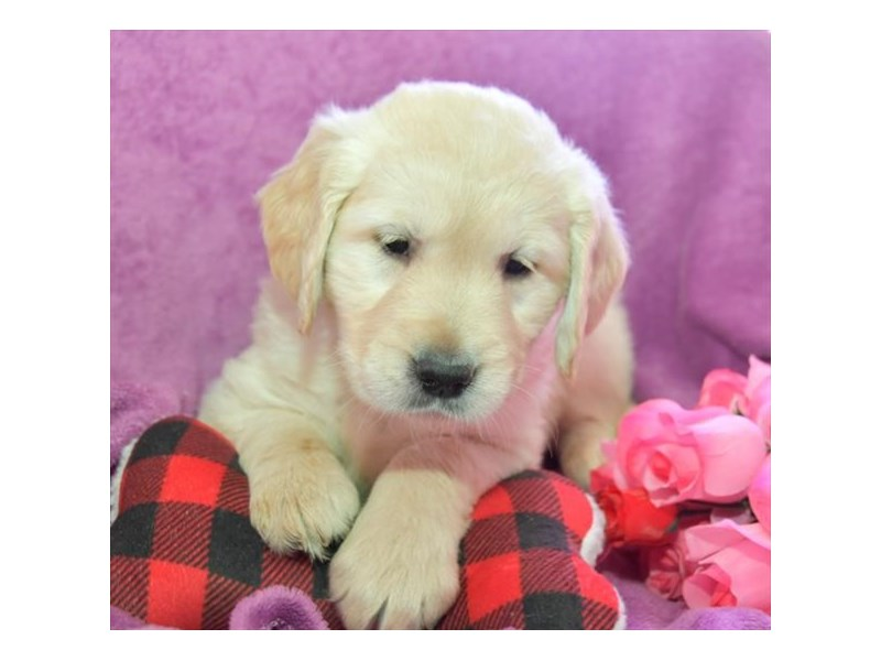 Golden Retriever-Male-Cream-2645047-The Barking Boutique