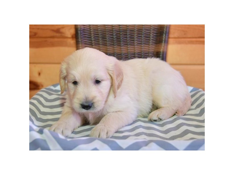 F1B Goldendoodle-Female-Cream-2645129-The Barking Boutique