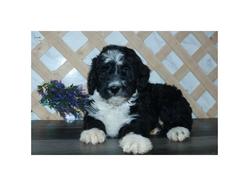 Aussiepoo-Male-Black / White-2645131-The Barking Boutique