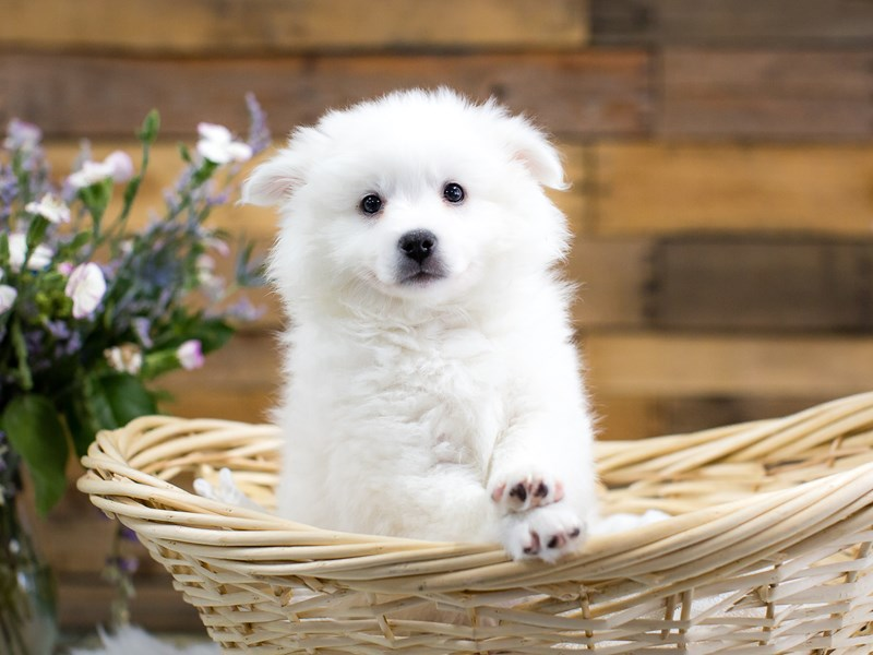 American Eskimo Dog-Male-White-2645038-The Barking Boutique
