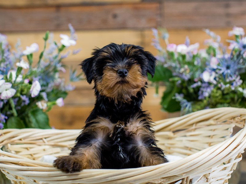 Yorkshire Terrier – Tuck