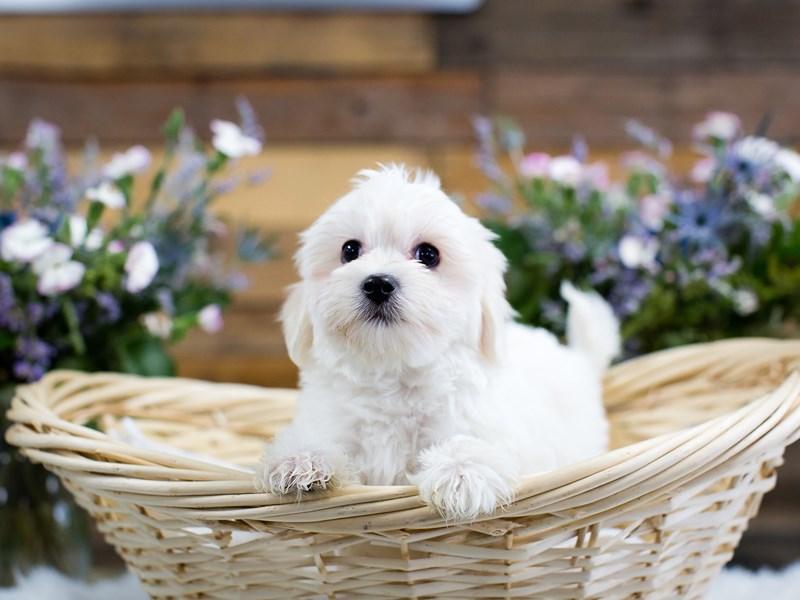 Coton De Tulear-Male-White-2644670-The Barking Boutique