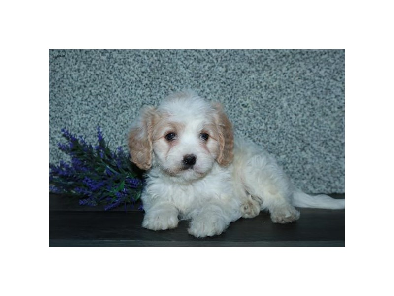 Cavachon-Male-White / Tan-2652302-The Barking Boutique
