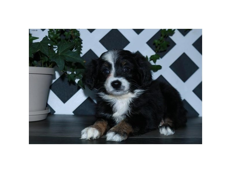 Toy Australian Shepherd-Female-Black / White-2652304-The Barking Boutique