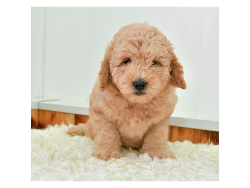 F1B Mini Goldendoodle-Male-Apricot-2652305-The Barking Boutique
